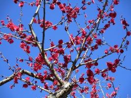 青葉の森公園の梅が見ごろを迎えています。<2/14現在>