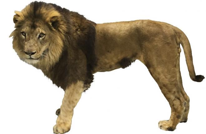 リニューアル記念イベント第二弾「ライオン何kg?」@千葉市動物公園<5/29(日)>