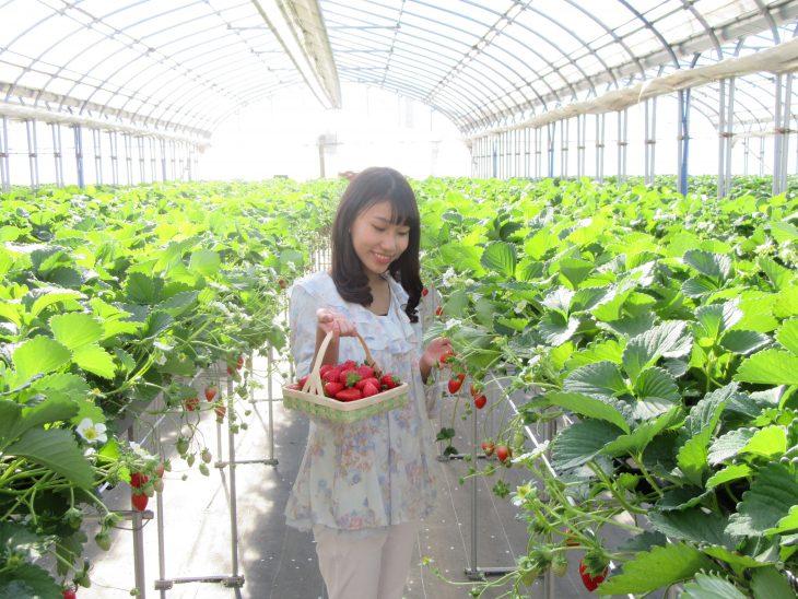△食べ放題のイチゴは、「かおりの」「紅ほっぺ」「チーバベリー」の3種です。