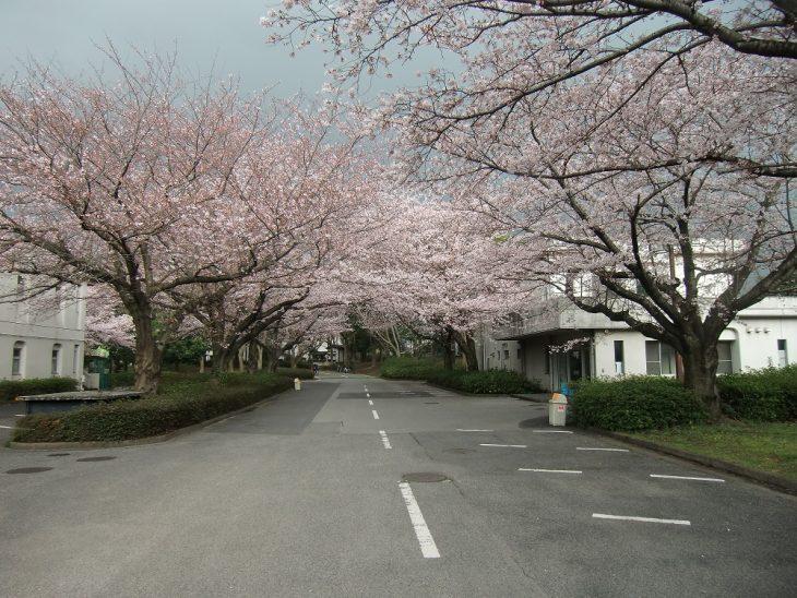 桜・お花見開放@千葉市動物公園<4/1(土)・2(日)>