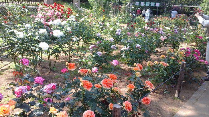 春のバラ展@都市緑化植物園<5/12(金)~14(日)>