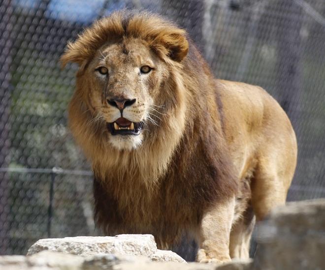 8月のライオン~ライオンと遊ぼう~@千葉市動物公園<8/12(土)>