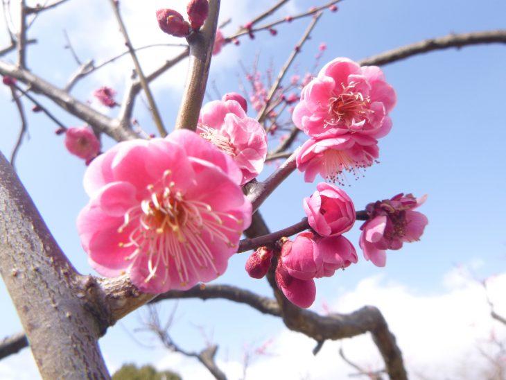 早春のお花見会~ウメ観賞会~@青葉の森公園<2/17(土)>