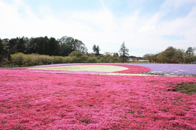 富田さとにわ耕園のシバザクライベント開催!<2018年春>