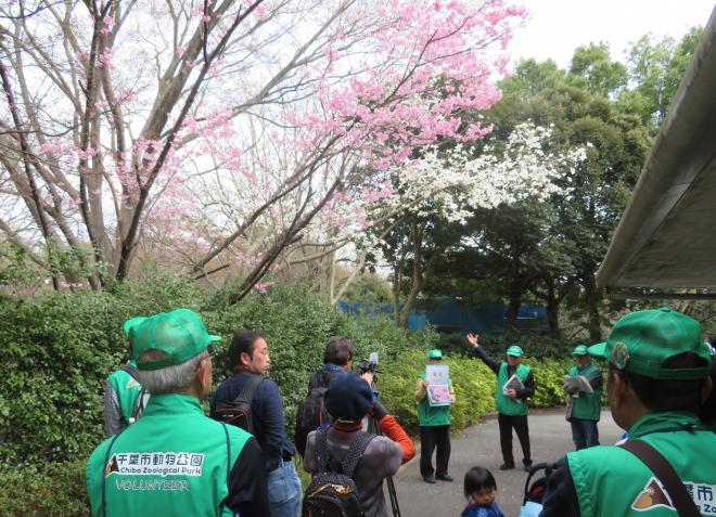 サクラガイド@千葉市動物公園<3/23・30・4/6・13・20(土)>