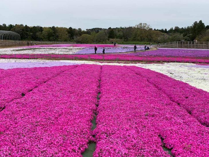 【最新情報】富田さとにわ耕園のシバザクラ開花状況&イベント情報!