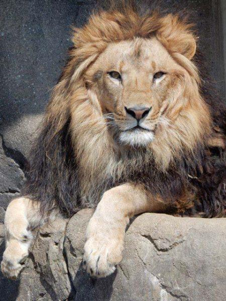 ライオン「アレン」のお誕生日会 @千葉市動物公園<5/11(土)>