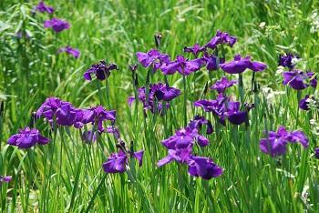 【6/6現在】ハナショウブの花数が増えてきました@昭和の森(千葉市緑区)