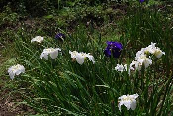 【6/18現在】ハナショウブの早咲きは、一部色あせています@昭和の森(千葉市緑区)