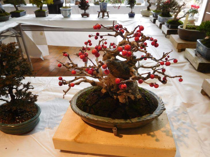 盆栽展示@千葉市都市緑化植物園<1/19(日)、2/2・16(日)、3/1・15(日)>