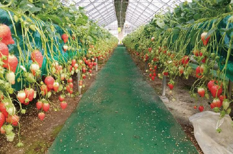 ▲写真の高設栽培に加え園内の土耕との食べ比べも楽しい!