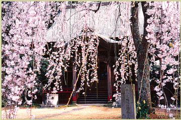 栄福寺「枝垂れ桜」が開花いたしました!!