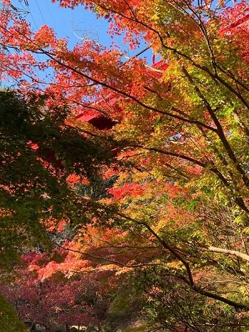 【もみじまつり開催11/14~12/6】紅葉が綺麗な時期になりました@泉自然公園